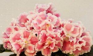 Фиалка Очень крупные полумахровые волнистые цветы с розово-пудровым напечатком на каждом лепестке, белый глазок и широкая белая кайма. Красивая выставочная розетка из тёмно-зелёных глянцевых листьев.(