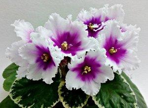 Фиалка Крупные простые и полумахровые белые звёзды с пурпурно - фиолетовым большим глазком и волнистыми краями лепестков. Пестролистник. (Описание автора).