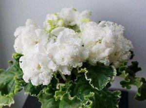 Фиалка Крупные махровые и полумахровые выемчатые белые цветы, в начале края зелёные, но после расходятся в белую бахромку. Выставочная розетка из заострённых зубчатых пестролистных листиков. (Описание