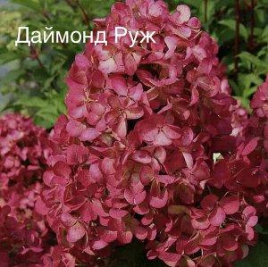 Гортензия метельчатая Diamand Rouge / Даймонд Руж, саженец ЗКС
