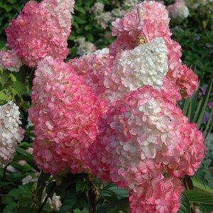Гортензия метельчатая Strawberry Blossom / Строуберри Блоссом, саженец ЗКС