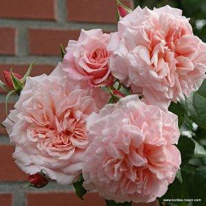 Роза Rose de Tolbiac