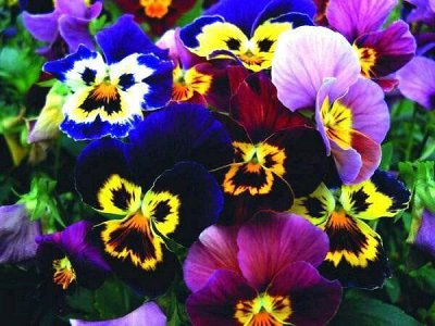 Семена Алтая — Виола, Анютины глазки, Фиалка