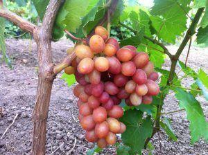 Виноград Гран при