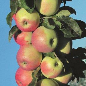 Яблоня Зеленый шум  колоновидная