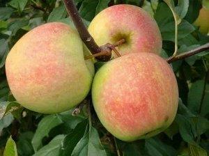 Яблоня Коричное ананасное