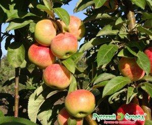Яблоня Луч колоновидная