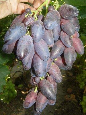 Виноград сорт Кармен