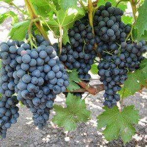 Виноград сорт Кишмиш чёрный