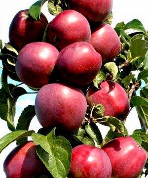 Яблоня Пьедестал  колоновидная