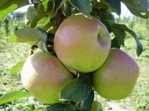 Яблоня Таскан  колоновидная
