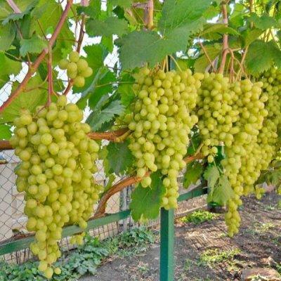 Лучшие саженцы винограда по супер ценам 253 руб! Весна 2022 — Очень ранний