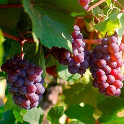 Лучшие саженцы винограда по супер ценам 253 руб! Весна 2022 — Ультра ранний