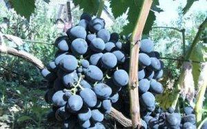 Виноград сорт Галия