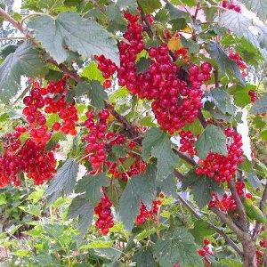 Смородина красная Розита (в тубе)