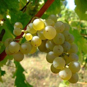 Виноград Совиньон Белый (в тубе)
