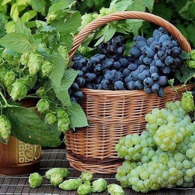 Саженцы плодово-ягодные и декорат! Огромный выбор. Весна 2022 — Виноград