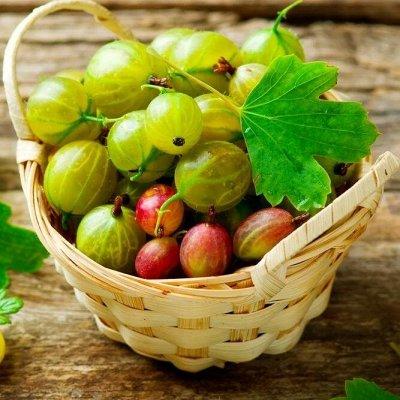Саженцы плодово-ягодные и декорат! Огромный выбор. Весна 2022 — Крыжовник