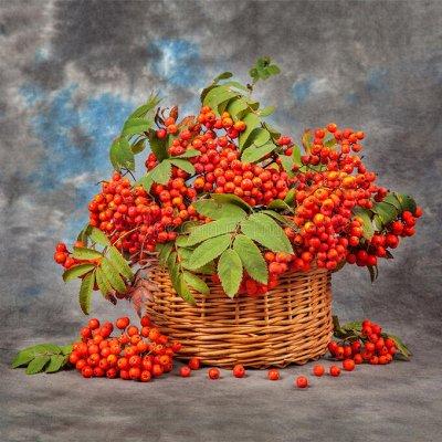 Саженцы плодово-ягодные и декорат! Огромный выбор. Весна 2022 — Рябина, фундук