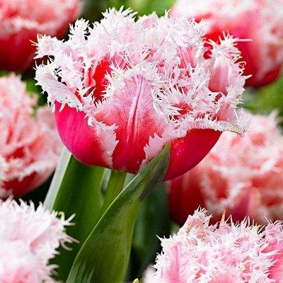 Ликвидация осеннего склада Экспресс от 12 руб — Махрово-бахромчатые тюльпаны ликвидация остатков