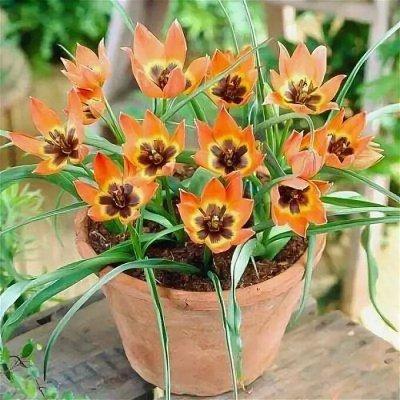 Ликвидация осеннего склада Экспресс от 12 руб — Мини-тюльпаны первоцветы ликвидация остатков