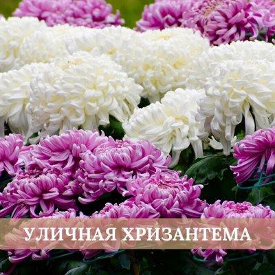 Хищный Sale! Огромный выбор комнатных растений — Хризантемы уличные