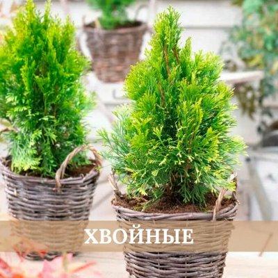 Хищный Sale! Огромный выбор комнатных растений — Хвойные растения