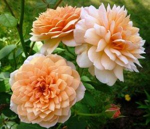 Грейс Превосходный сорт с чисто-абрикосовыми цветками – более темными в центре, бледнее по краям; этот цвет хорошо сочетается с другими, особенно темно-красным и пурпурным. Цветки в начале чашевидные,