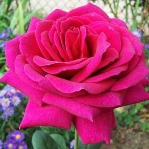 Биг Пёпл Цветок  яркий пурпурно-фиолетовый с синеватым отливом, чашевидный, с высоким центром, густомахровый, 80 - 90 лепестков в одном цветке, диаметр цветка 10 - 11 см, обладает очень насыщенным фру