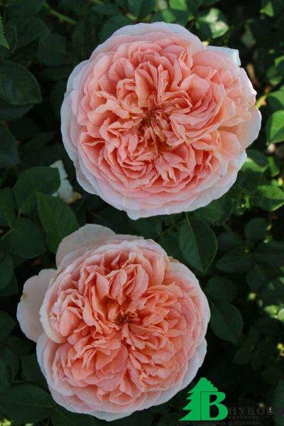 Розы Сибири — лучшие сорта! Предзаказ весна 2022 — Флорибунда