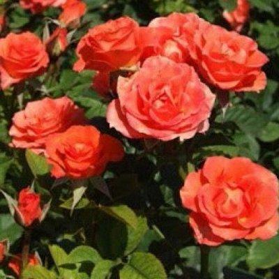 Розы Сибири — лучшие сорта! Предзаказ весна 2022 — Спрей