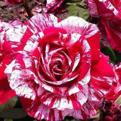 СИБИРСКАЯ роза в НОВОМ формате! Предзаказ! 40% — Спрей