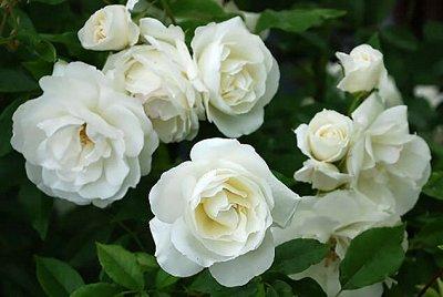 Розы Сибири — лучшие сорта! Предзаказ весна 2022 — Плетистые