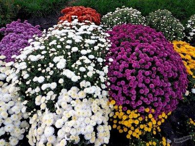 Хризантемы мультифлоры! предзаказ — Хризантема мультифлора! предзаказ