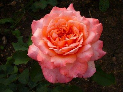 Розы Сибири — лучшие сорта! Предзаказ весна 2022 — Новинки 21-22 года