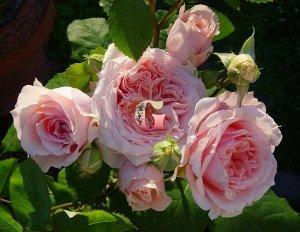 Поль Бокюз Парковый сорт французской селекции. Можно выращивать на штамбе и в кустовой форме. Растение высокорослое, ветвистое с густой листвой и повторным цветением. Цветки (8-10 см) у розы густомахр