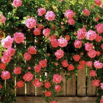 Розы Сибири! 🌹 Предзаказ Весна 2022 * Новинки* Оплата 50/50 — Парковые, плетистые и почво-покровные + Новинки