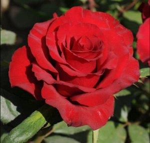 Роза Ред Стар