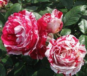 Роза Сентиментал