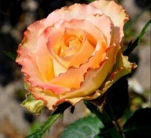 Роза Дуэт Саженцы розы чайногибридной Дуэт популярны среди садоводов благодаря обильному продолжительному цветению прекрасными цветами с запахом фиалки Куст растения в высоту не превышает  см компакте