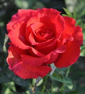 Роза Голден Перл