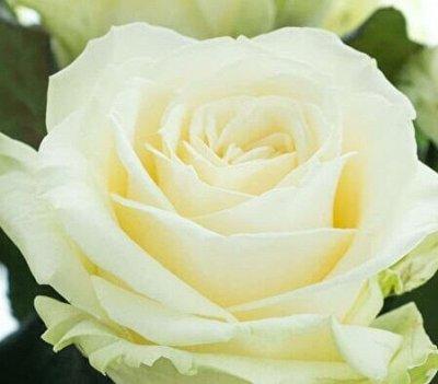 СИБИРСКАЯ роза в НОВОМ формате! Предзаказ! 40% — Чайно-гибридные