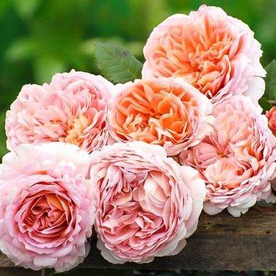 СИБИРСКАЯ роза в НОВОМ формате! Предзаказ! 40% — Флорибунда