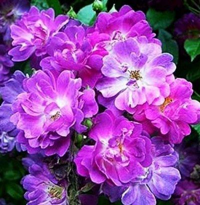 СИБИРСКАЯ роза в НОВОМ формате! Предзаказ! 40% — Плетистые, ПАРКОВЫЕ, ПОЧВОКРОВНЫЕ