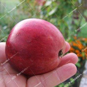 Яблоня Орлик (2-х летний саженец )