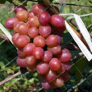 П/в виноград Столичный красавец (2-х летний саженец )