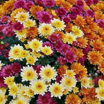 Корейские хризантемы на весну - более ста сортов