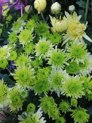 Хризантема мультифлора Verjiniya (Верджиния )