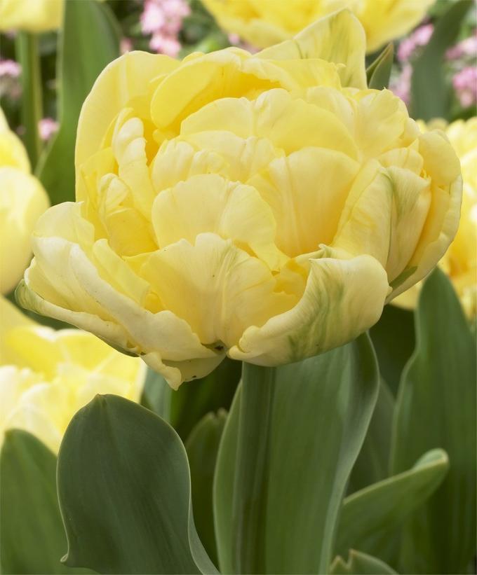 фото пионных тюльпанов запомнился киноляп родинкой