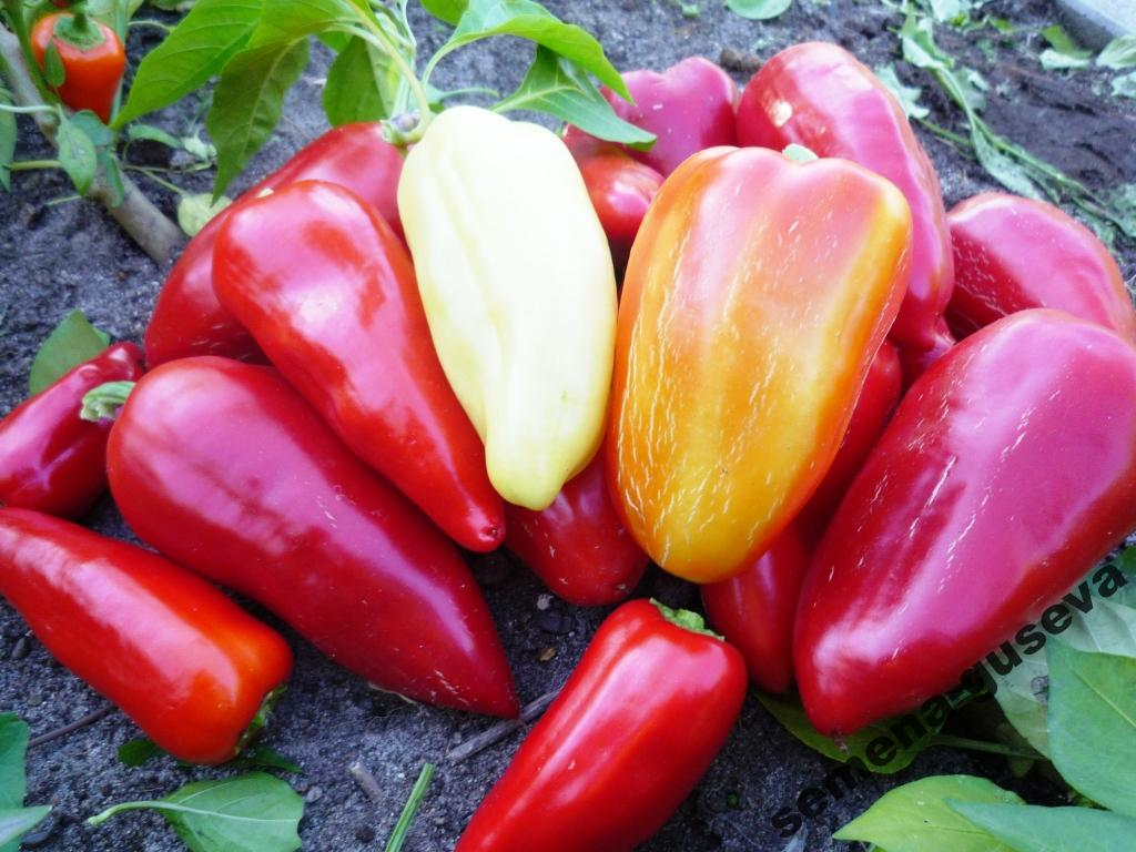 Для открытого грунта сорта болгарского перца фото